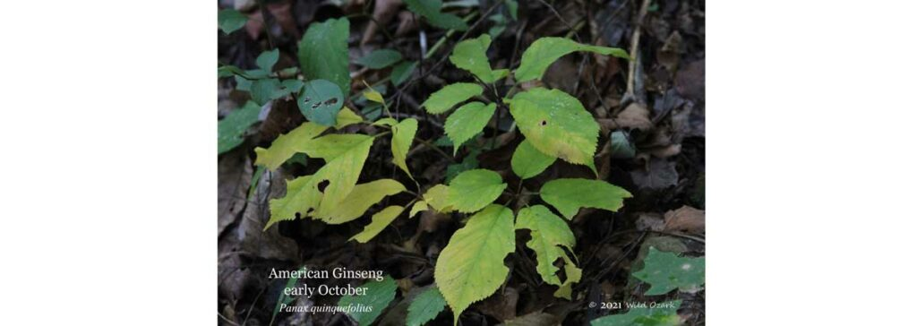 2021 Ginseng Prices discussion page.